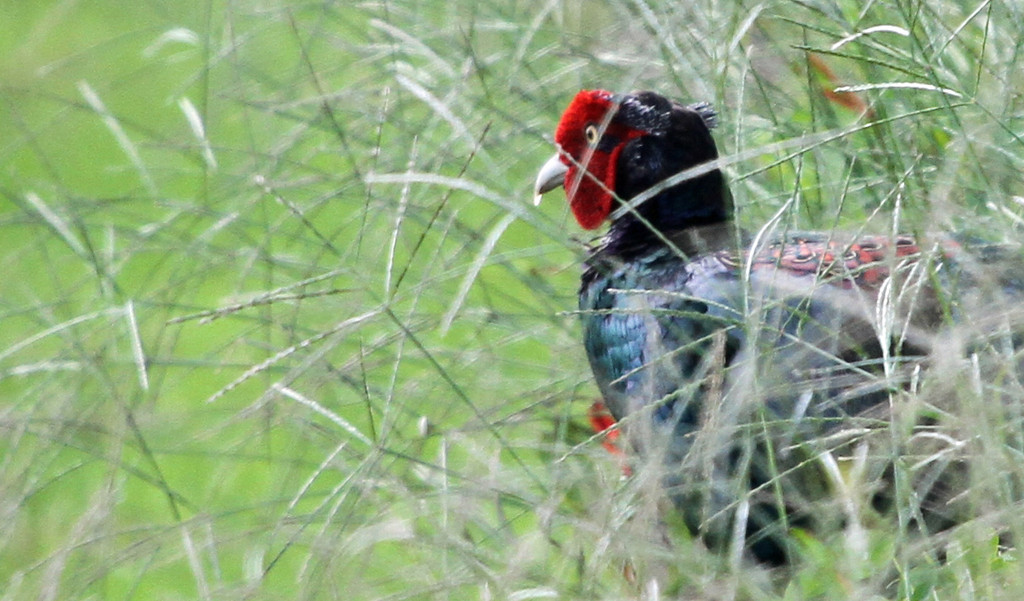 Oi Town - Male Japanese Green Pheasant