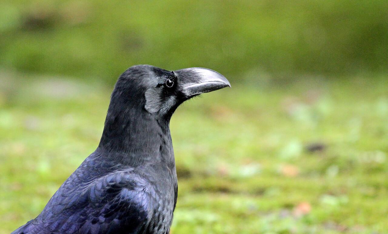 Hamarikyu Garden - Large-billed Crow