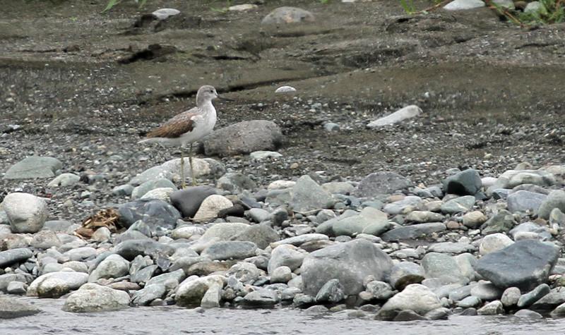 Sakawa River - Common Greenshank
