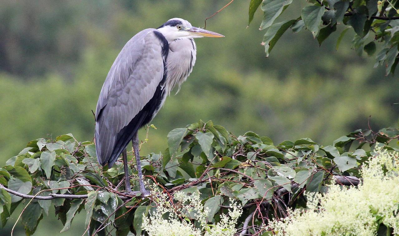 Hamarikyu Garden - Grey Heron