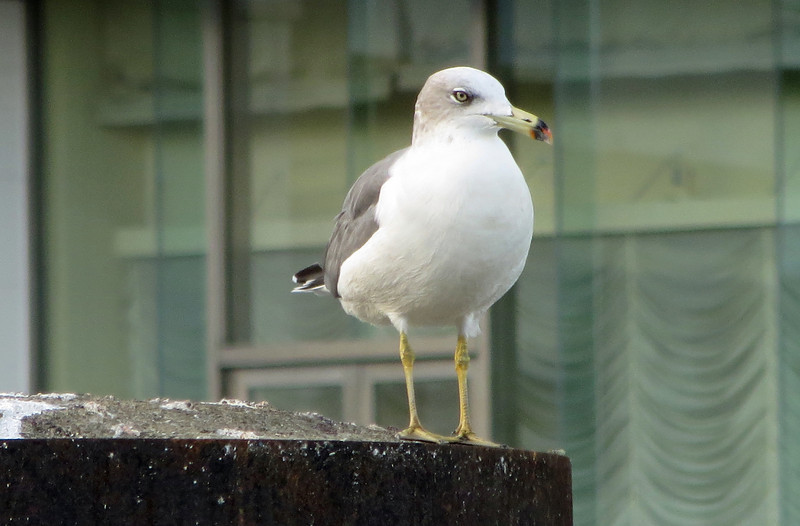 Sumida River Mouth - Black-tailed Gull
