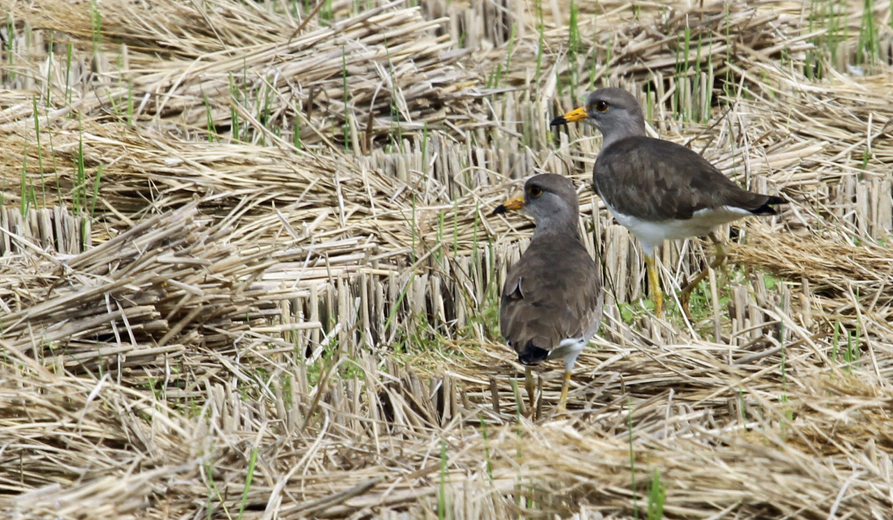 Oi Town - Grey-headed Lapwing