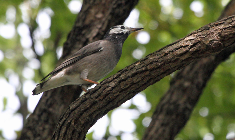 Hamarikyu Garden - Gray Starling
