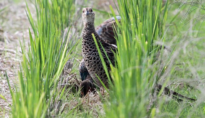 Oi Town - Female Japanese Green Pheasant