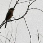 Gongen-yama - Bull-headed Shrike