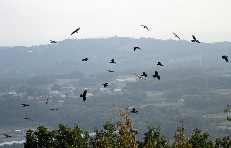 Gongen-yama, Hadano City<br /> <br /> Woods and Forest Enviroment<br /> <br /> Clarion and Large-billed Crow