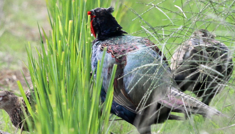 Oi Town - Japanese Green Pheasant