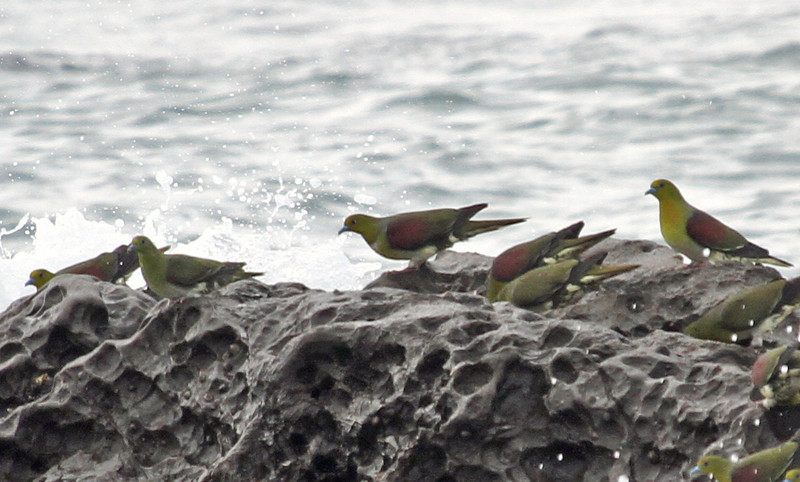 Terugasaki Beach - The Japanese name is Aobato, also known as Japanese Green Pigeon.