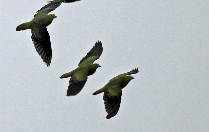 Terugasaki Beach - Japanese Green Pigeon circling rocky surf.