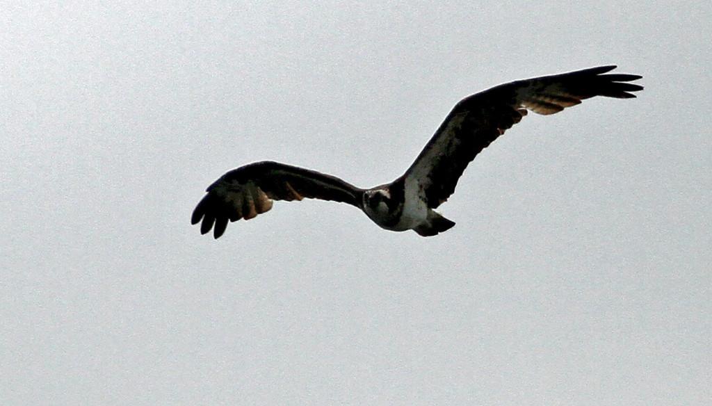 Terugasaki Beach - Osprey prowling the beach.