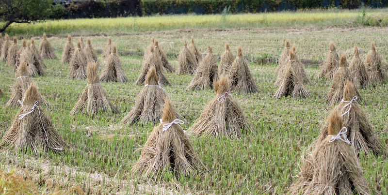 Oi Town, Kanagawa Prefecture<br /> <br /> Farm and Field Enviroment<br /> <br /> Rice Harvast