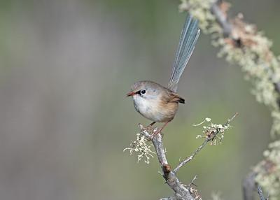 Intermediate male Variegated Fairywren (Malurus lamberti)