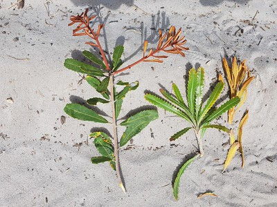 Banksia species Lennox Head - Wallum heath