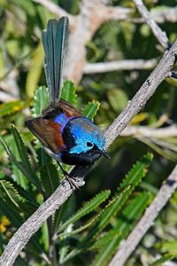 Variegated Fairywren (Malurus lamberti)