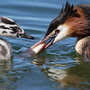 Crested Grebe with salmon fry