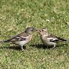 Female Chaffinch feeding chick
