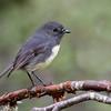 South Island Robin - Toutouwai