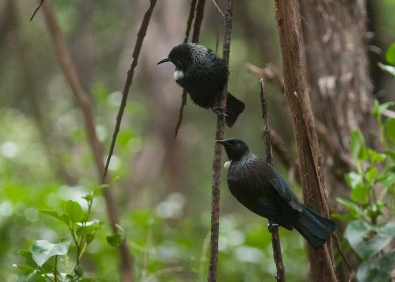 Tuis hanging near the feeders
