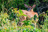 Deer-3102