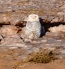 Snowy owl-7870