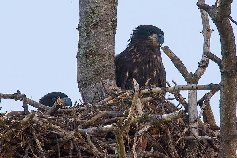 BAEA nest-1055