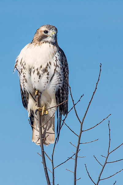 Red-tail, Upper Canard