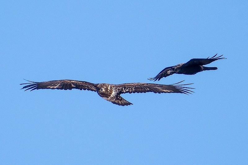 Eagle and Raven-5906