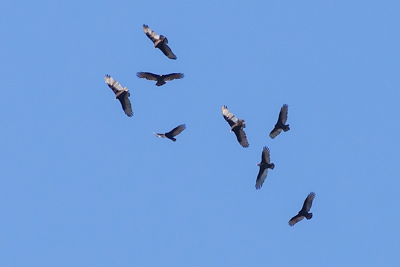 T. Vultures