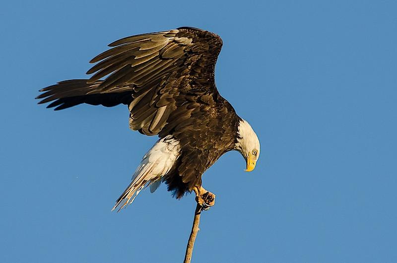 Bald Eagle, Grand Pre
