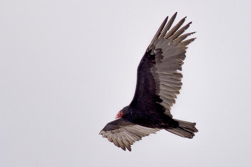 T.vulture, Annapolis Co.