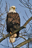 Bald eagle Church St  DSC03230-1