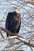 Tree eagle