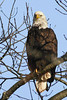Bald eagle Church St  DSC03233-1
