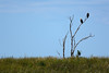 Tree with eagles-