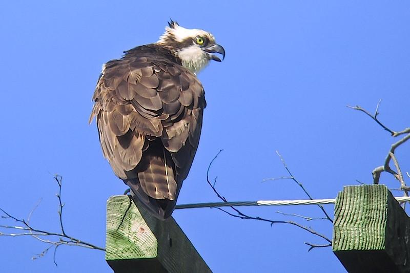 Osprey, Hartlen Pt.