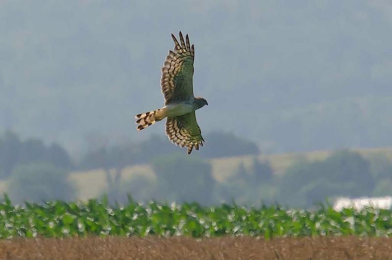 N.Harrier, Grand Pre