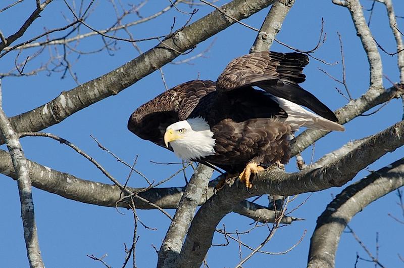 Eagle Away ....