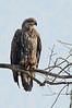 Bald Eagle on Wolfville CBC