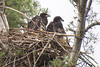 Eagle chicks, New Minas