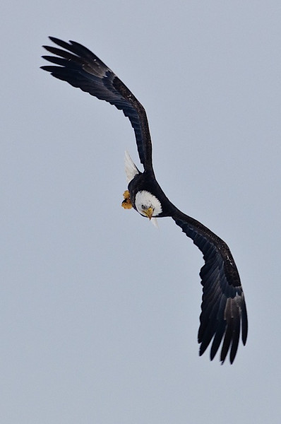 Eagle coming in!