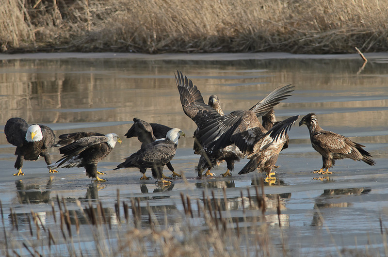 Bald eagles, New Minas