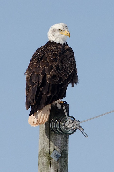 Eagle on a power pole