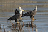 Bald eagles, New Minas