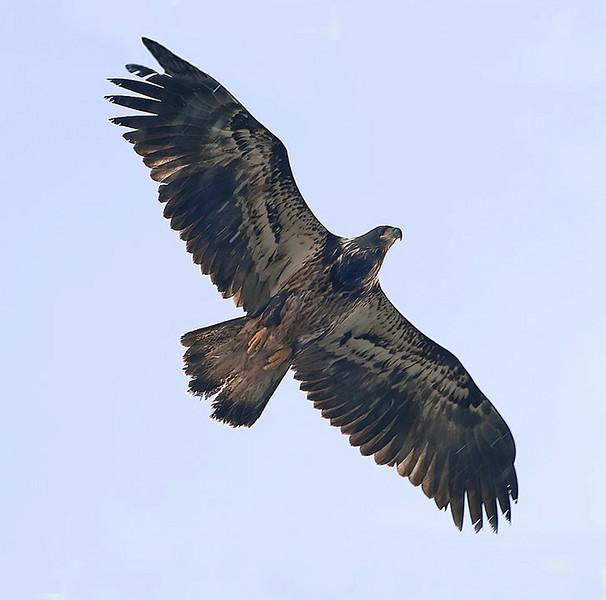 Imm. Bald eagle