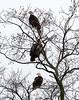 Eagle tree-4614