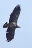 Bald eagle imm.