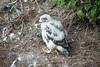 Peregrine chick P1020167