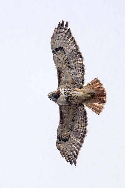 Red-tail, Pt.Wms