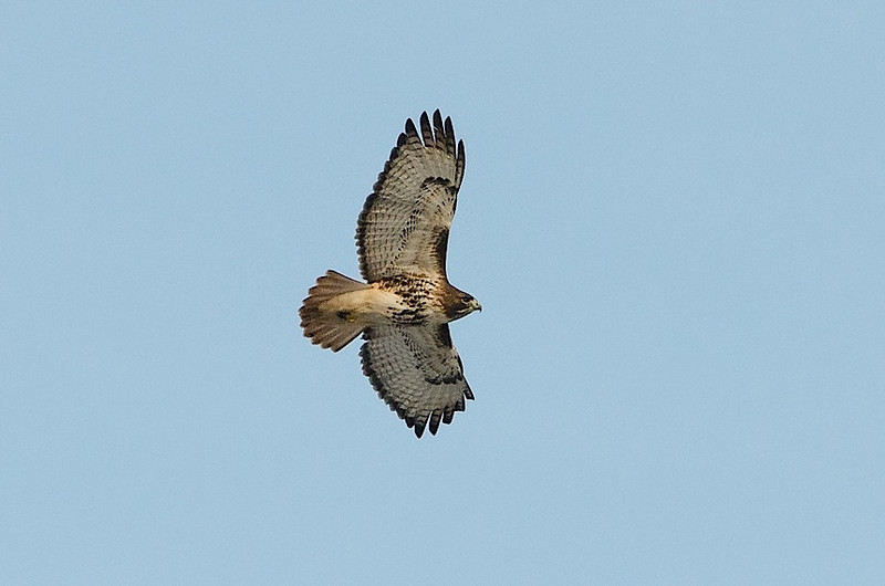 Red-tail Soaring