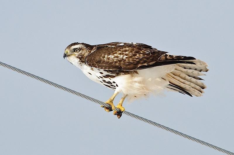 R-T Hawk